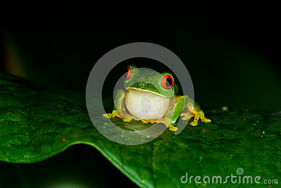 Red eyed tree frog at night in the rain forest of belize calling her