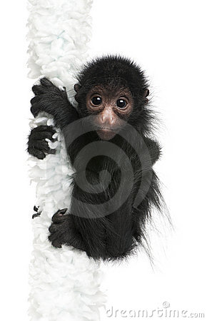 Free Red-faced Spider Monkey, Ateles Paniscus Stock Photos - 16562363