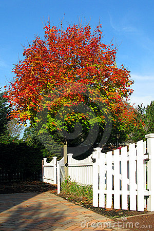 Red Fall Colors Tree and White Garden Picket Fence