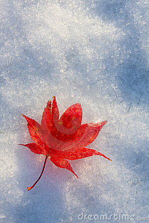 Free Red Fall Leaf Royalty Free Stock Photos - 7106348