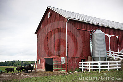 Red Farm Barn with Cows