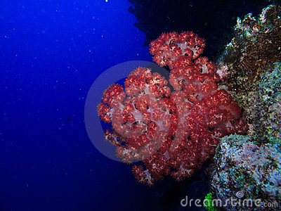 Red Fire Coral on Great Barrier Reef Australia