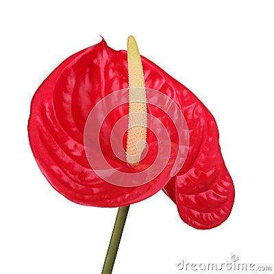 Free Red Flamingo Flower Royalty Free Stock Image - 20264766