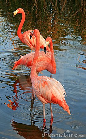 Red flamingo in a park
