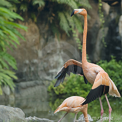 The red flamingo in zoo