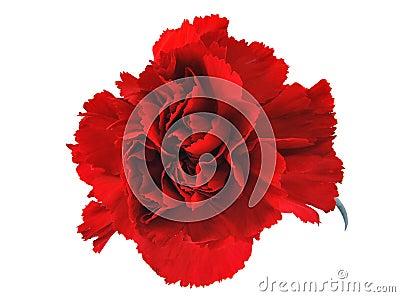 Red flowe carnation