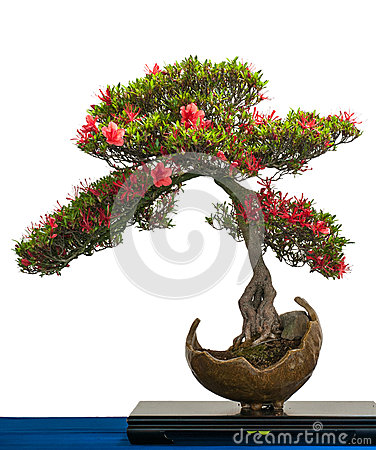 Red flower of a azalea bonsai tree