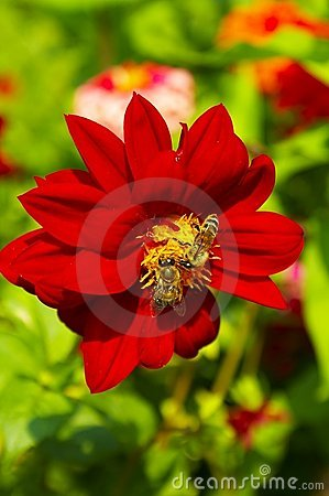 Red flower with bees