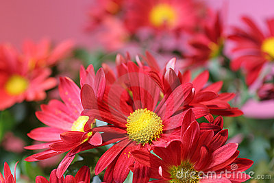 Red flower bunch on pink