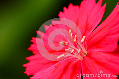 Red flower closeup
