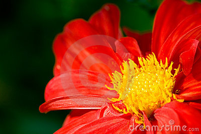 Red flower of dahlia with yellow center