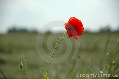 Red flower and field