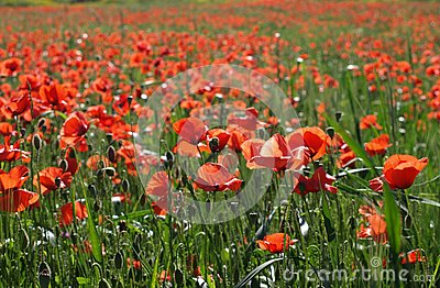 Red Flower Field Free Public Domain Cc0 Image