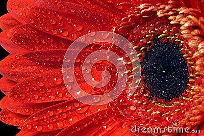 Red flower gerbera macro.