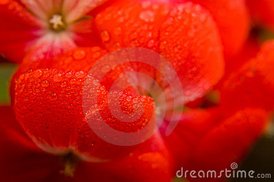 Red flower macro shot