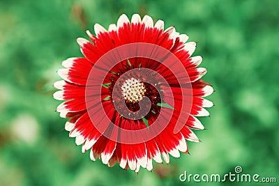 Red flower macro shot over blurred green