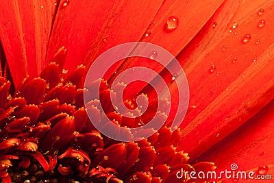 Red flower macro water drops