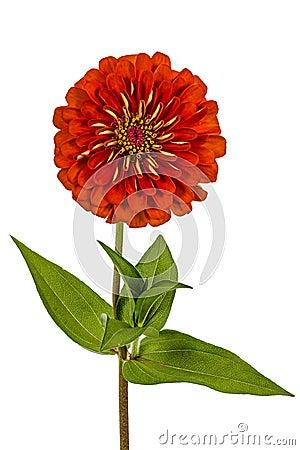 Free Red Flower Of Zinnia (Lat. Zinnia) Stock Photography - 39173282