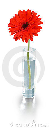 Red flower in vase - clipping path