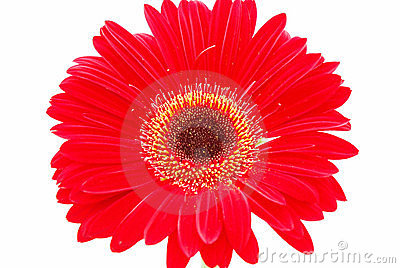 Red flower on white