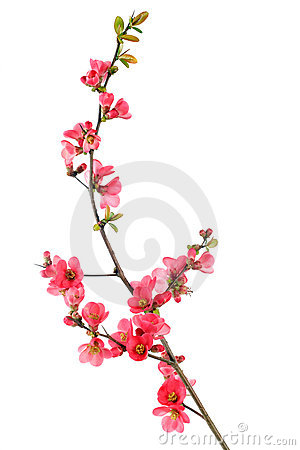 Free Red Flowering Quince Royalty Free Stock Photo - 8578555