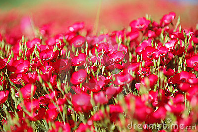Red flowers on the field
