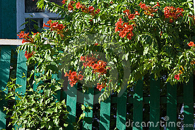 Red flowers on a green fence