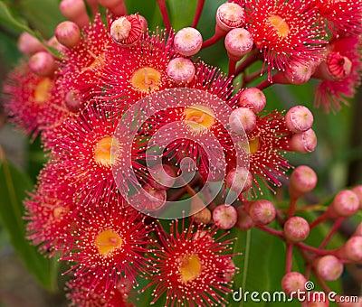 Red flowers of Australian gum tree eucalyptus