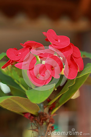 Free Red Flowers Poi Sian Royalty Free Stock Photos - 28506998