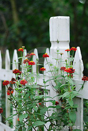 Red flowers on white fence