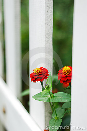 Red flowers and white fence