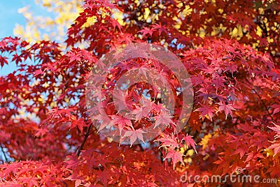 Red foliage of Acer Palmatum,