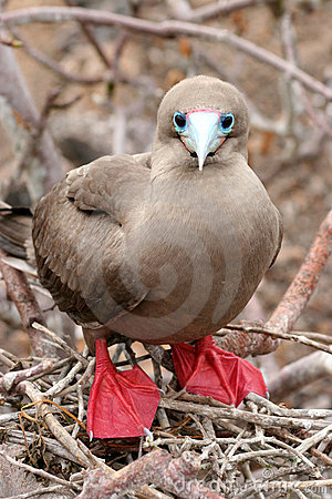Red-footed Booby, Galapagos