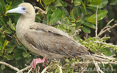 Red Footed Booby on Perch