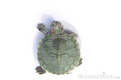 A Red-footed Tortoise