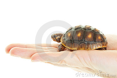 Red Footed Tortoise in Hand