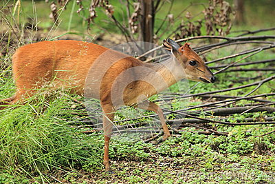 Red forest duiker