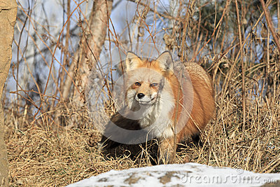 Red Fox in brush
