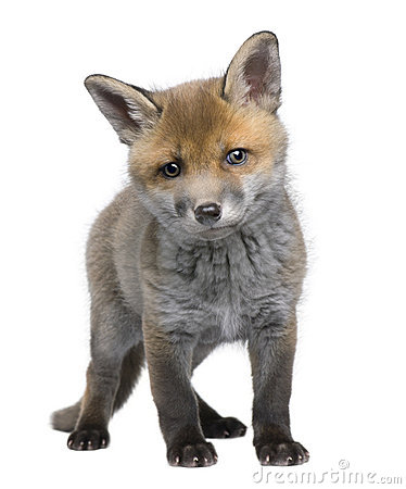 Free Red Fox Cub (6 Weeks Old)- Vulpes Vulpes Royalty Free Stock Images - 9535829