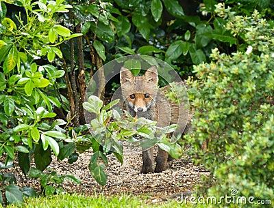 Red Fox Cub hiding