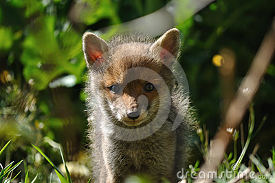 Red fox cub looking at camera lens