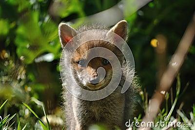 Red fox cub looking at camera lens