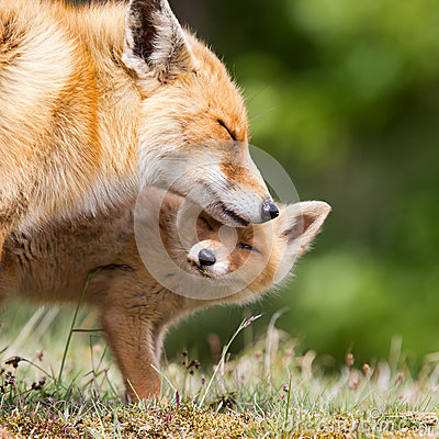 Red fox with a cub