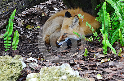 Red Fox in Den