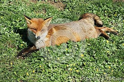 Red fox dozing