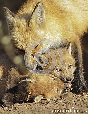 Red fox family