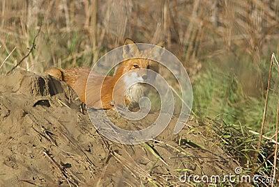 Red fox female