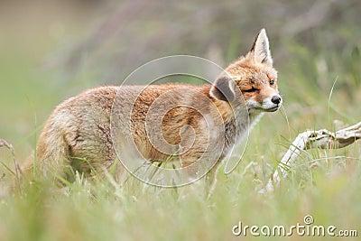 Red fox in field