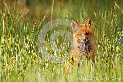 Red Fox in Grass