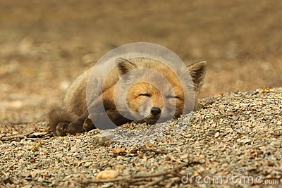 Red Fox Kit Sleeping